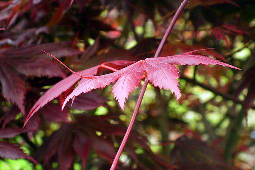 Japanese Maple, Leaves, Branch, Maple, Red Leaves