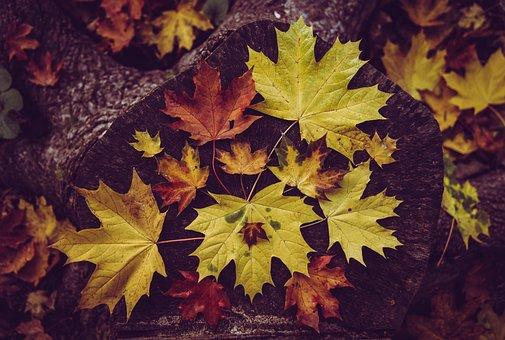 Maple, Leaves, Fall, Tree Stump, Autumn, Autumn Leaves