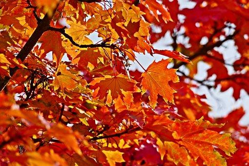 Leaves, Foliage, Tree, Maple, Fall, Autumn Leaves