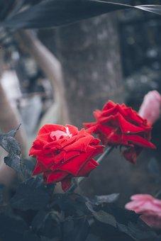Roses, Flowers, Red Roses, Rose Bloom, Petals