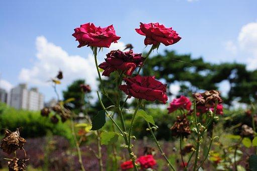 Roses, Flowers, Reds, Rose Bloom, Petals, Rose Petals