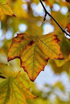 Maple, Leaf, Fall, Autumn, Foliage, Branch, Tree, Plant