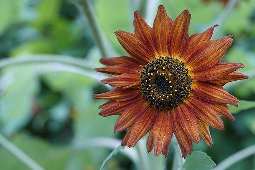 Flower, Bloom, Botany, Blossom, Sunflower, Petals