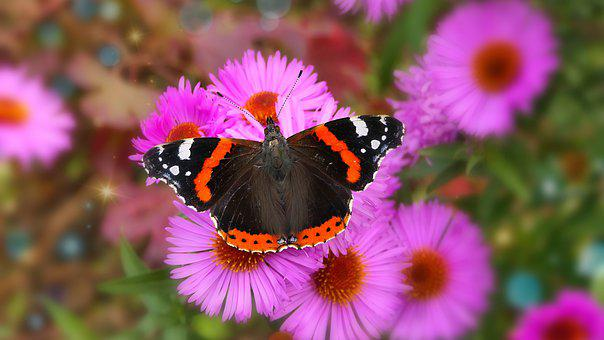 Red Admiral, Pink Flowers, Butterfly, Pollination