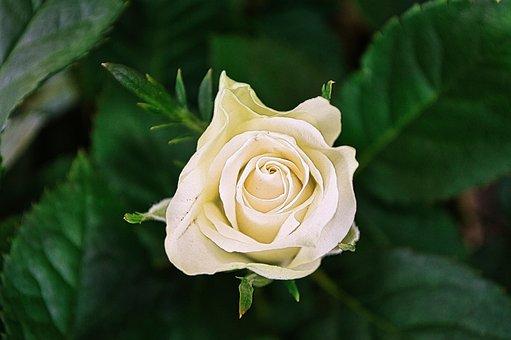 Flower, Rose, Bloom, Blossom, Botany, Plant, Flora
