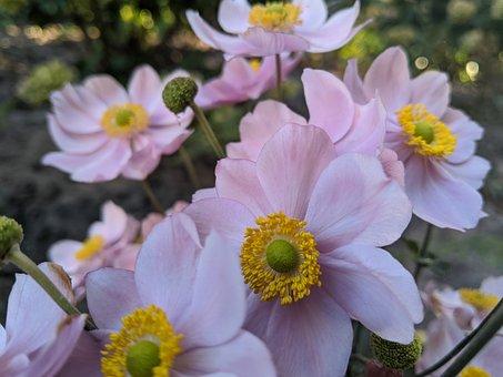 Japanese Anemone, Pink Flowers, Garden, Nature, Flora