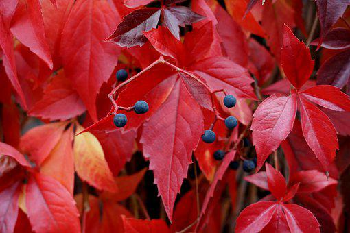Maple Leaves, Autumn, Fall, Leaves, Nature