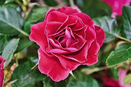 Flower, Rose, Rose Bloom, Petals, Rose Petals, Bloom
