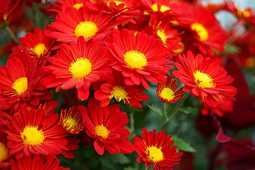 Daisies, Red Flowers, Red Daisies, Flowers, Flora