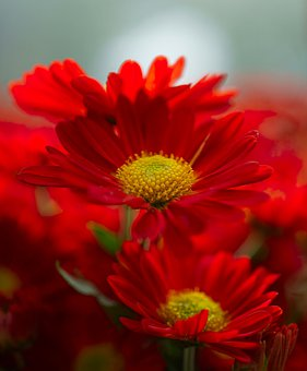 Red Daisies, Daisies, Red Flowers, Garden, Nature