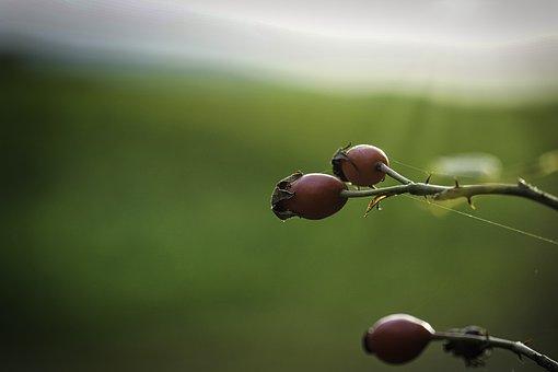 Rosehips, Rosehip Berries, Rosehip Fruits, Nature
