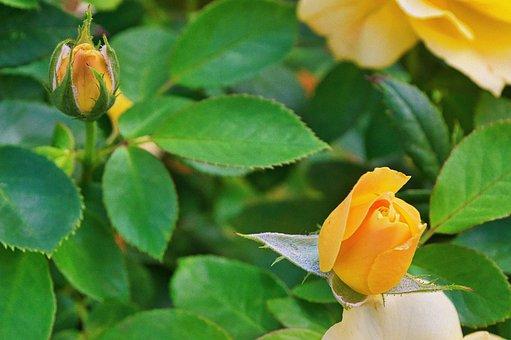 Roses, Flowers, Yellow Roses, Rose Bloom, Petals