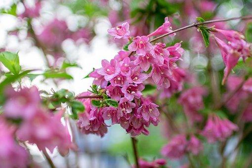 Flowers, Petals, Weigela, Bloom, Spring, Garden
