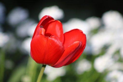 Rose, Flower, Petals, Plant, Flora, Blossom, Bloom
