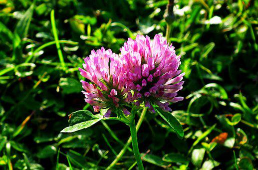 Pink Flowers, Red Clover, Trifolium Pratense, Blooming