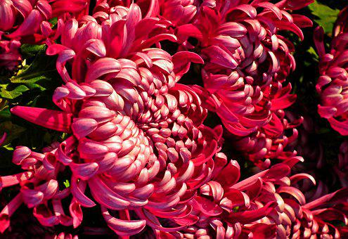 Chrysanthemums, Red Flowers, Bouquet, Garden, Nature