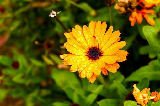 Marigold, Flower, Calendula, Yellow Flower, Dew