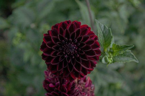 Dahlia, Flower, Plant, Red Flower, Burgundy, Petals