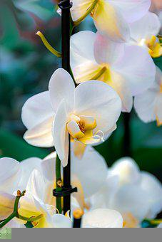 Orchids, Moth Orchids, White Flowers, Flowers