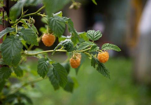 Raspberry, Berry, Fresh, Vitamins, Food, Nutrition