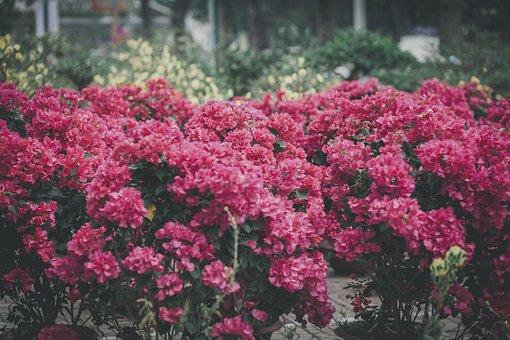 Red Flowers, Garden, Ornamental Plants, Nature