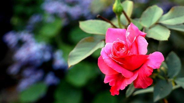 Rose, Flower, Rose Bloom, Petals, Rose Petals, Bloom