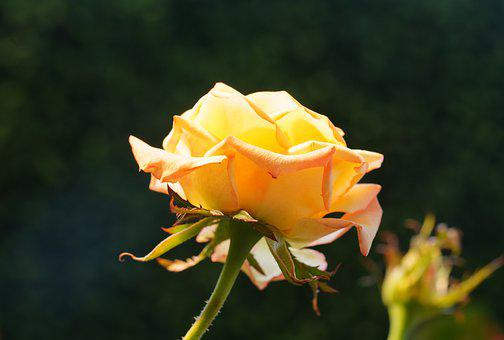 Rose, Flower, Plant, Yellow Rose, Yellow Flower, Petals