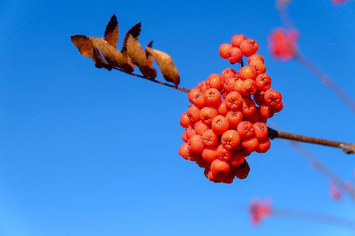 Nature, Rowan, Autumn, Seasonal, Berry