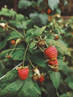 Fruits, Wild Berries, Raspberries, Berries, Nature