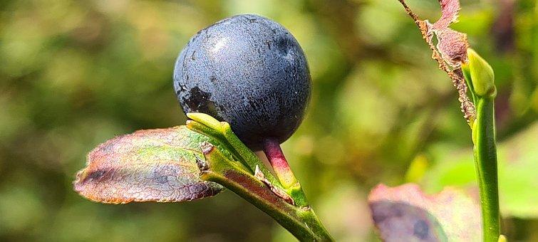 Berry, Blueberry, Fruit, Macro