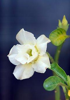 Desert Rose, Flower, Plant, Adenium, White Flower