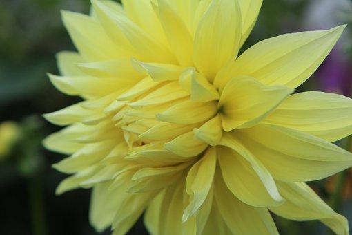 Dahlia, Flower, Yellow Flower, Dahlia Yellow, Garden
