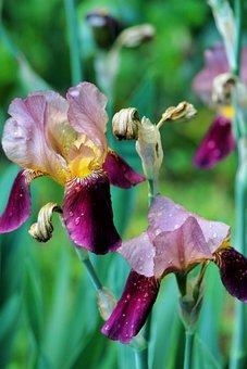 Bearded Iris, Flowers, Dew, Wet, Dewdrops, Petals