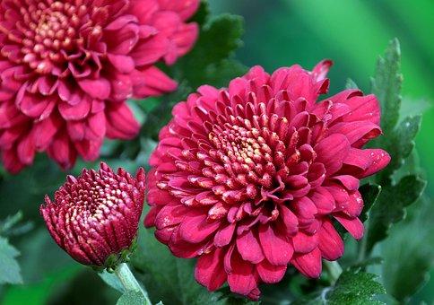 Chrysanthemum, Flowers, Dew, Wet, Dewdrops, Red Flowers