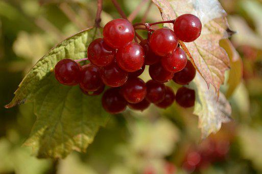 Rowan, Berries, Fruits, Food, Fresh, Healthy, Ripe