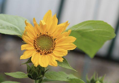 Sunflower, Flower, Yellow Flower, Garden, Petals