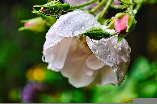 Rose, Flower, Dew, Dewdrops, Buds, Rose Bloom, Petals