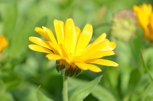 Field Marigold, Flower, Plant, Yellow Flower, Petals