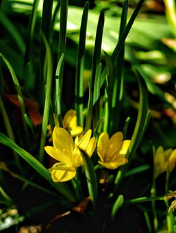 Crocus, Flowers, Plants, Yellow Flowers, Petals, Bloom