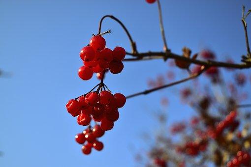 Berry, Rowan, Nature, Branch, Autumn, Organic