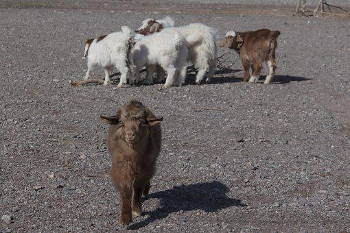 Animals, Goats, Farm Animals, Livestock, Balochistan