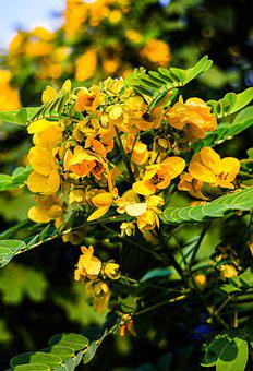 Golden Shower Tree, Flowers, Branches, Yellow Flowers