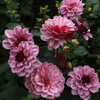 Dahlias, Flowers, Dew, Wet, Dewdrops, Pink Flowers