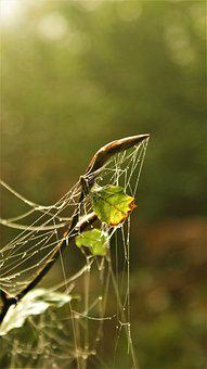 Spider Web, Cobweb, Dew Drops, Beech Branch