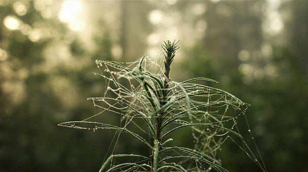 Pine, Cobweb, Dew, Wet, Dewdrops, Conifer, Needles