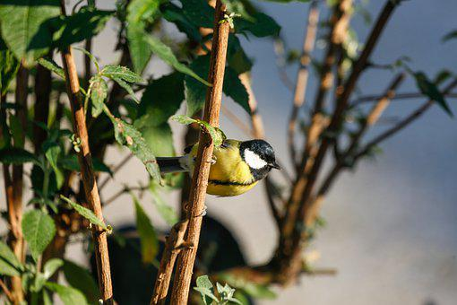Great Tit, Bird, Perched, Tit, Animal, Feathers