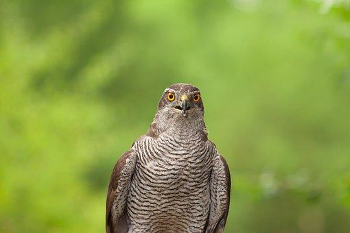 Goshawk, Bird, Perched, Animal, Feathers, Plumage, Beak