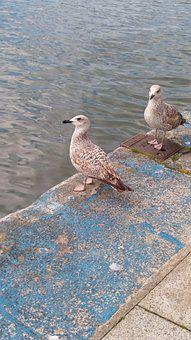 Seagulls, Birds, Perched, Animals, Seabirds, Feathers