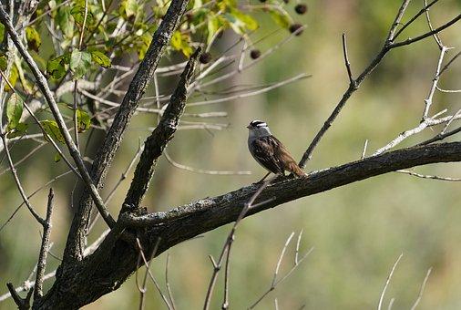Bird, Sparrow, Perched, Ornithology, Nature, Wildlife