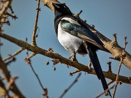 Magpie, Bird, Perched, Animal, Feathers, Plumage, Beak